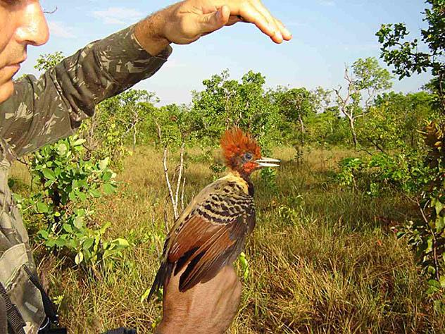 E o Brasil descobre sua fauna alada