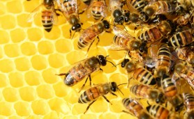reuber-abelhas