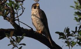 Falco-peregrinus-Cubatao-2013-11-21-761
