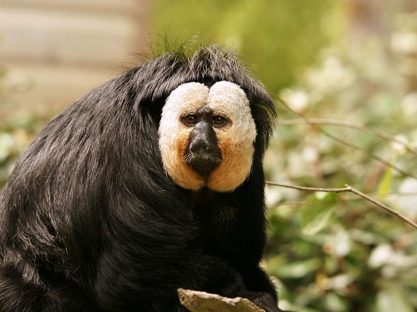 Parauacu: estudo descreve cinco novas espécies destes primatas